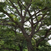 마을 느티나무