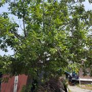 마을 입구의 호두나무