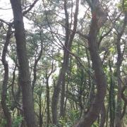 마을로 내려가는 길의 빽빽한 소나무숲